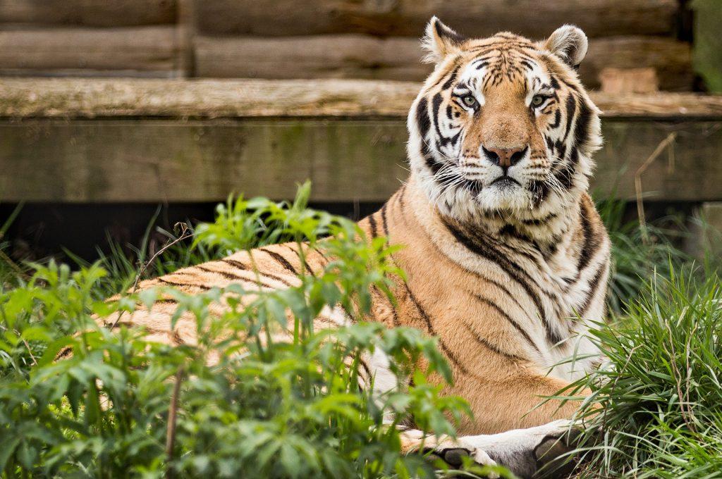 tiger-1809538_1920
